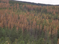 Mountain pine beetle infestation.