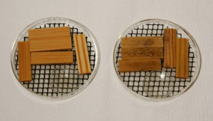 A photograph illustrating the effectiveness of essential oil as a mold inhibitor when applied to wood as an oil vapor. The treated wood stakes (left) experienced far less mold growth than their untreated counterparts (right).
