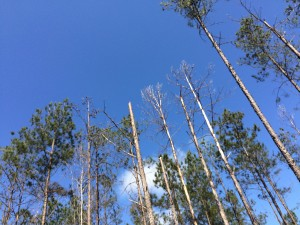 These weakened and dead loblolly pine trees show symptoms of southern pine decline.